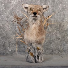 Coyote Pedestal Mount #11518 - For Sale - The Taxidermy Store