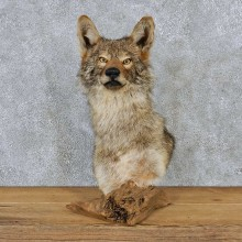 Coyote Pedestal Shoulder Taxidermy Mount #13188 For Sale @ The Taxidermy Store