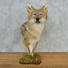 Coyote Pedestal Taxidermy Head Mount #12679 For Sale @ The Taxidermy Store