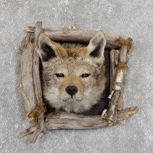 Coyote Head & Wood Taxidermy Mount #19407 For Sale @ The Taxidermy Store