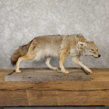 Coyote Life-Size Mount For Sale #19237 @ The Taxidermy Store