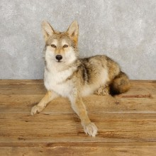 Coyote Life-Size Mount For Sale #20229 @ The Taxidermy Store