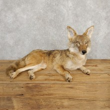 Coyote Life-Size Mount For Sale #20230 @ The Taxidermy Store