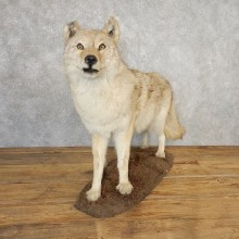 Coyote Life-Size Mount For Sale #21114 @ The Taxidermy Store