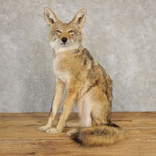 Coyote Life-Size Mount For Sale #21191 @ The Taxidermy Store