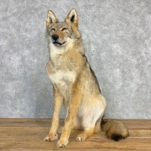 Coyote Life-Size Mount For Sale #22003 @ The Taxidermy Store