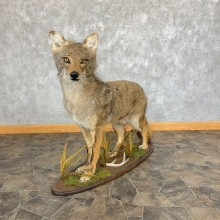 Coyote Life-Size Mount For Sale #22005 @ The Taxidermy Store