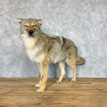 Coyote Life-Size Mount For Sale #22326 @ The Taxidermy Store