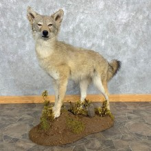 Coyote Life-Size Mount For Sale #22471 @ The Taxidermy Store