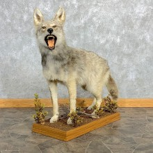 Coyote Life-Size Mount For Sale #22473 @ The Taxidermy Store