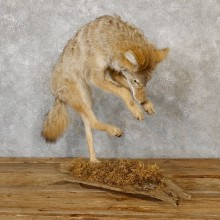 Coyote Life Size Mount #19276 For Sale @ The Taxidermy Store
