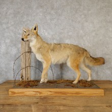 Coyote Life Size Mount #19277 For Sale @ The Taxidermy Store