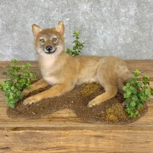 Coyote Pup Life-Size Mount For Sale #21757 @ The Taxidermy Store