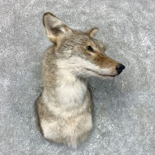 Coyote Shoulder Taxidermy Mount For Sale