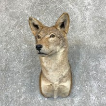 Coyote Shoulder Taxidermy Mount #22721 @ The Taxidermy Store