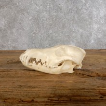 Coyote Full Skull Taxidermy Mount #18556 For Sale @ The Taxidermy Store