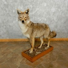 Standing Coyote Life Size Mount #17644 For Sale @ The Taxidermy Store