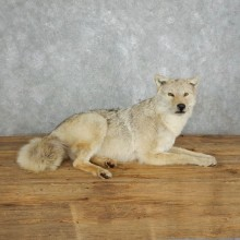 Coyote Life-Size Mount For Sale #18004 @ The Taxidermy Store
