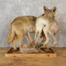 Coyote With Rabbit Life-Size Taxidermy Mount For Sale