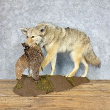 Coyote With Ruffed Grouse Life-Size Mount For Sale #21684 @ The Taxidermy Store
