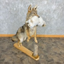 Coyote With Snowshoe Hare Life-Size Mount For Sale #22474 @ The Taxidermy Store