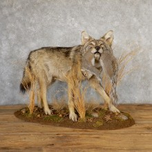 Coyote With Squirrel Life-Size Taxidermy Mount For Sale