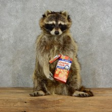 """Cracker Jack"" Raccoon Mount For Sale #17122 @ The Taxidermy Store"