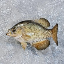 White Crappie Freshwater Fish Mount #10186 For Sale @ The Taxidermy Store