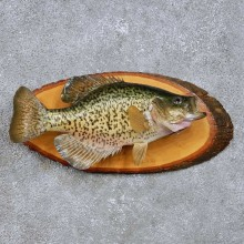 Crappie Freshwater Fish Mount For Sale #14092 @ The Taxidermy Store