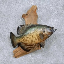 Crappie Fish Mount For Sale #14098 @ The Taxidermy Store