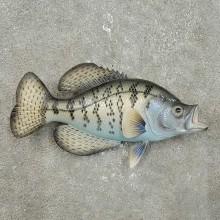 Replica Crappie Fish Mount For Sale #15919 @ The Taxidermy Store