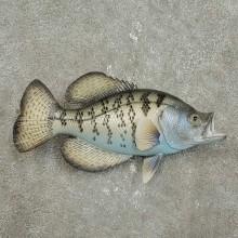 Replica Crappie Fish Mount For Sale #15920 @ The Taxidermy Store