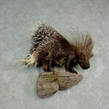 African Crested Porcupine Taxidermy Mount For Sale