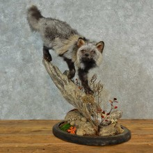 Tri-Color Cross Fox Taxidermy Mount For Sale