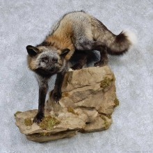 Cross Fox Life-Size Taxidermy Mount #13191 For Sale @ The Taxidermy Store