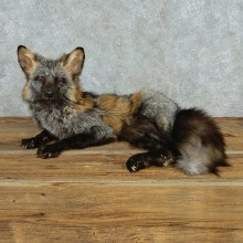 Cross Fox Life-Size Taxidermy Mount For Sale