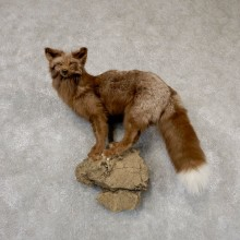 Cross Fox Life-Size Taxidermy Mount #18871 For Sale @ The Taxidermy Store