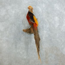Cross Golden Pheasant For Sale #18522 @ The Taxidermy Store