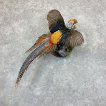 Cross Pheasant Taxidermy Mount #22765 For Sale @ The Taxidermy Store