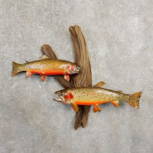 Cutthroat Trout Taxidermy Fish Mount Scene For Sale