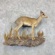 Damara Dik-Dik Taxidermy Life-Size Mount For Sale #22339 @ The Taxidermy Store