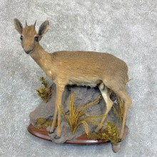 Damara Dik-Dik Taxidermy Life-Size Mount For Sale #22853 @ The Taxidermy Store
