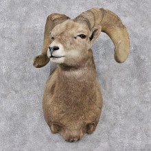 Desert Sheep Shoulder Taxidermy Mount #12512 For Sale @ The Taxidermy Store