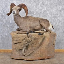 Desert Sheep Life-Size Taxidermy Mount For Sale