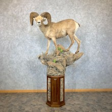 Desert Bighorn Sheep Taxidermy Mount #22885 For Sale - The Taxidermy Store