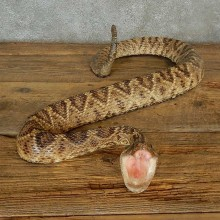 Eastern Diamondback Snake Mount For Sale #16997 @ The Taxidermy Store