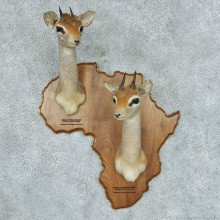 African Dik-diks Plaque Shoulder Mount #13381 For Sale @ The Taxidermy Store