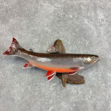 Dolly Varden Trout Fish Mount For Sale #22044 @ The Taxidermy Store