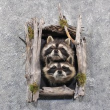 Double Raccoon Head Mounts #11674 For Sale @ The Taxidermy Store