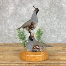 Double California Quail Bird Display For Sale #22823 @ The Taxidermy Store